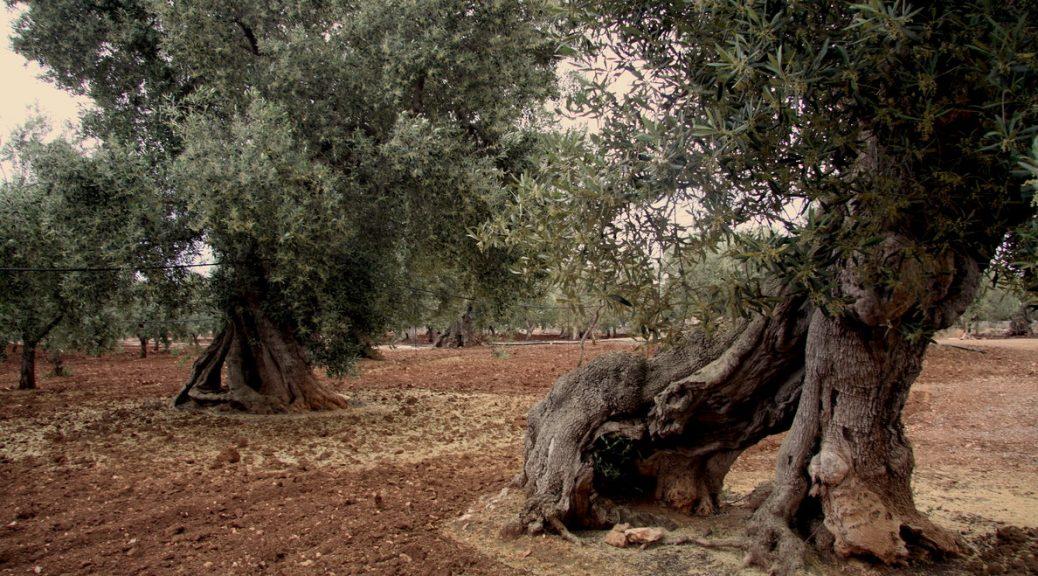 rsz_oliventræ1