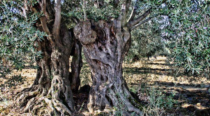 Syditalienske vidundere: Det fantastiske oliventræ, del 2