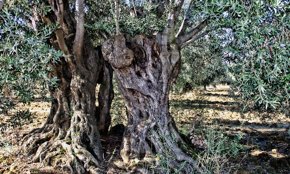 olive-tree-pixabay1