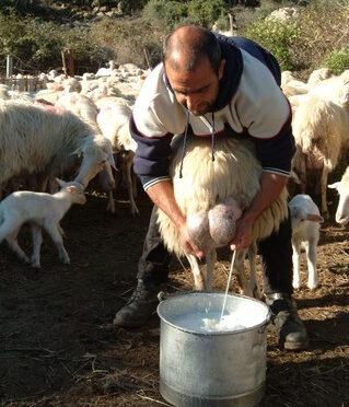 Mælkekrig på Sardinien: hyrder hælder tonsvis af mælk ud i gaderne i protest mod rekordlave priser