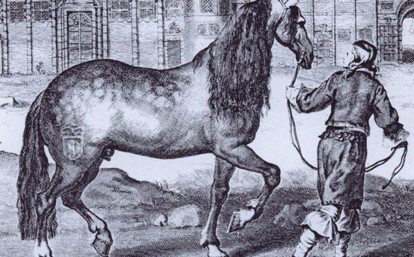 Den napolitanske hest – klog som et menneske og stærk som en bjørn