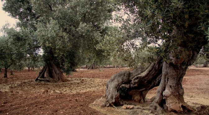 Syditalienske vidundere: det ukuelige oliventræ, del 1