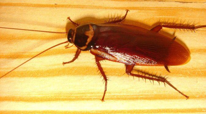 Alene hjemme med en høflig kakerlak